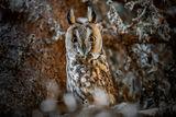 Горска ушата сова (Asio otus)... ; comments:10
