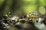 Зелена мухоморка (Amanita phalloides) ; comments:9
