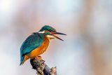 Земеродно рибарче... ; comments:9
