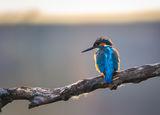 Земеродно рибарче с пънк прическа ; comments:9