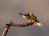 Alcedo atthis ; comments:16