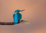 Alcedo atthis ; comments:9