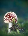 Червена мухоморка (amanita muscaria) ; comments:14