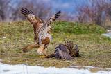 Битка между северен(Buteo lagopus) и обикновен(Buteo buteo) мишелов... ; comments:12