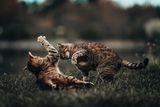 тигри в титанична битка за територия ; comments:13
