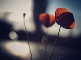 What the poppies say... ; comments:14