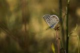 Пеперудомодел ; comments:5