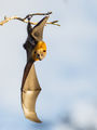 grey-headed flying-fox /pteropus/ ; comments:23