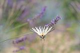 Papilionidae ; comments:18
