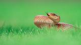 Смок мишкар (Zamenis longissimus) ; comments:20