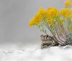 Зелена крастава жаба (Bufotes viridis) ; comments:21