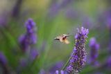 Гълъбова опашка ; Коментари:8