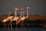 Розово фламинго (Phoenicopterus roseus) ; comments:22