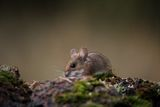 Полска мишка ; comments:10