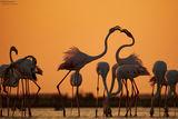 Розово фламинго (Phoenicopterus roseus) ; comments:15