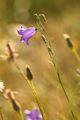 полски цветя ; comments:3